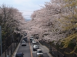 sakura-setagaya-street.jpg